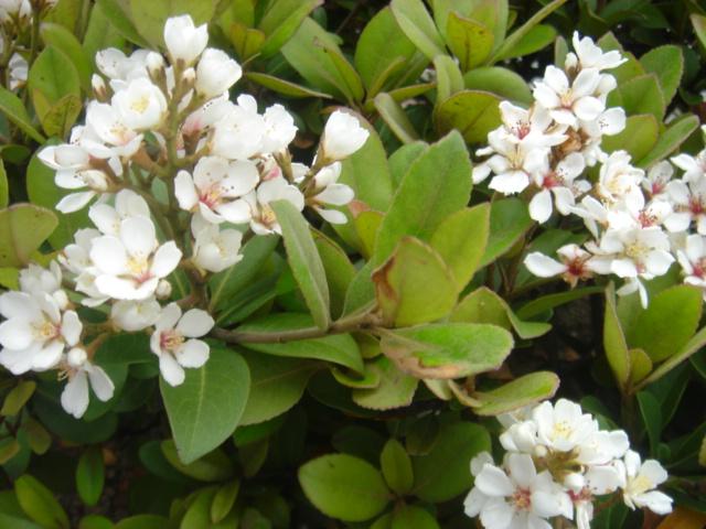 シャリンバイの花09702.JPG