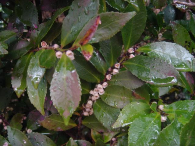 ヒサカキの花07728.JPG