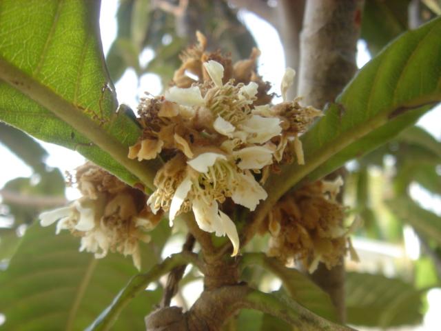 ビワの花04396.JPG