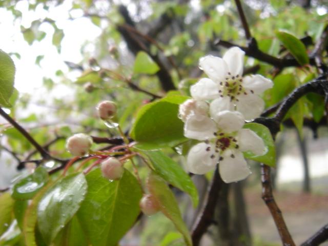 fab: マメナシの花