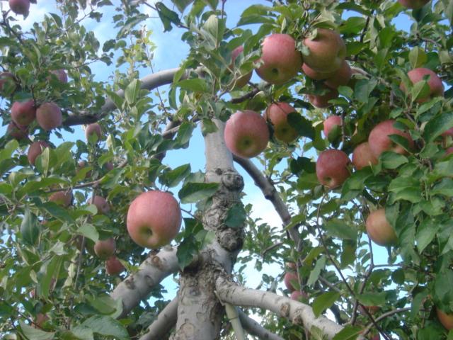 リンゴ03400.JPG
