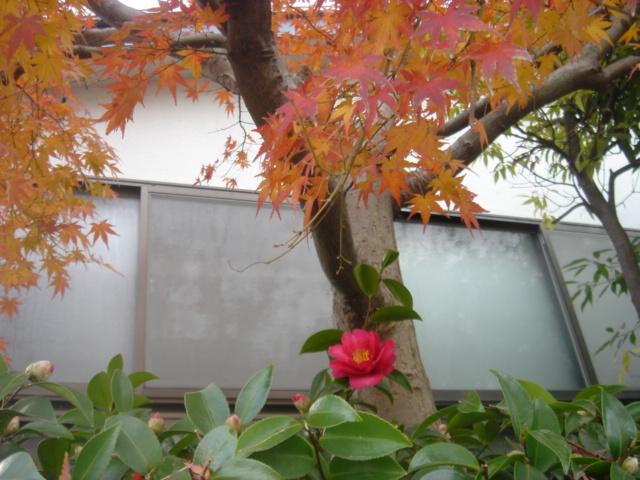 楓とサザンカ04829.JPG