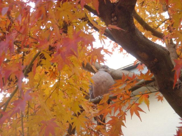 楓と鳩04826.JPG
