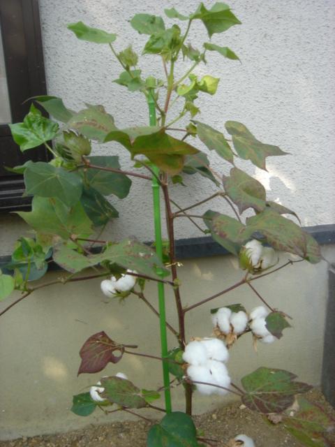 綿の木02873.JPG