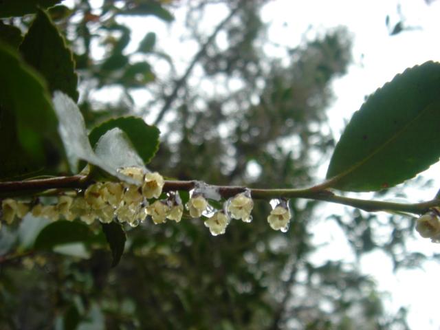 雨のヒサカキの花07761.JPG