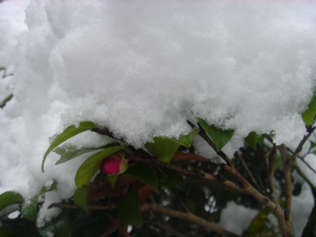 雪のサザンカ05066.JPG