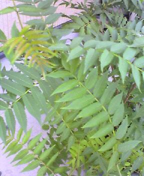 20050623_ナナカマド1.jpg