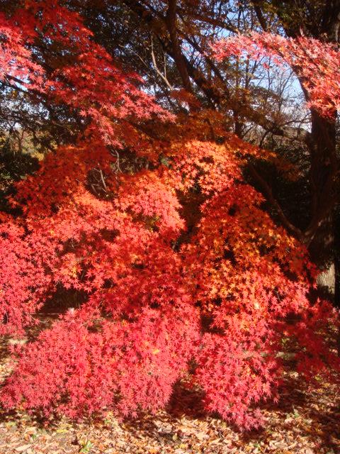 20081206_momiji_00401.JPG